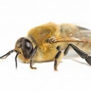 Arılar Neden Ölüyor